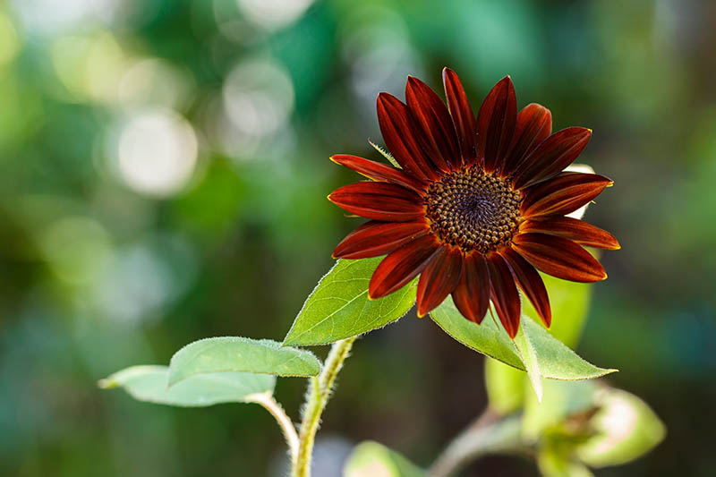 A close up of a Helianthus annuus 'Velvet Queen' flower with deep red petals, pictured on a green soft focus background.