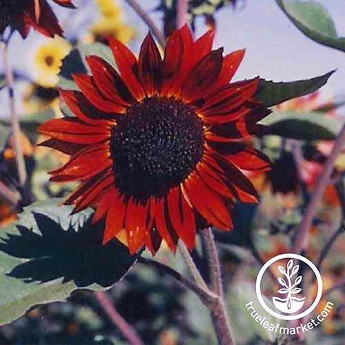 A close up of a Helianthus annuus 'Velvet Queen,' a variety of red sunflower pictured growing in the garden on a soft focus background. To the bottom right of the frame is a white circular logo with text.