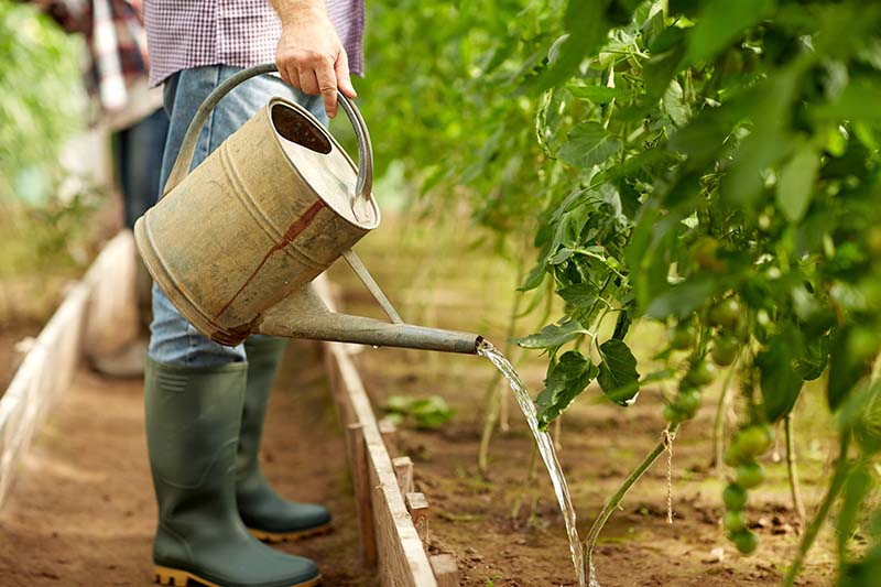 A close up of a man standing on a path between two vegetable raised garden beds holding a metal watering can and watering the base of a tomato plant.