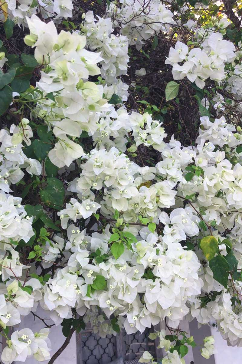A vertical close up picture of white bougainvillea growing on the side of a house.