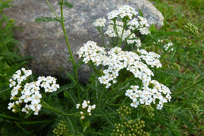 A close up top down picture of white Achillea millefolium flowers growing in the garden, with a rock in the background in soft focus.