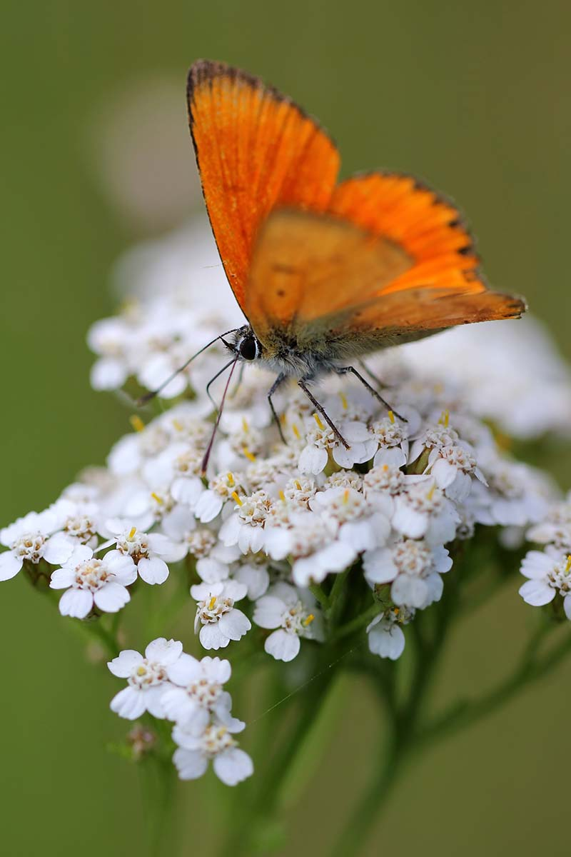 A close up vertical picture of a butterfly landing on a white yarrow flower in the summer garden, on a green soft focus background.