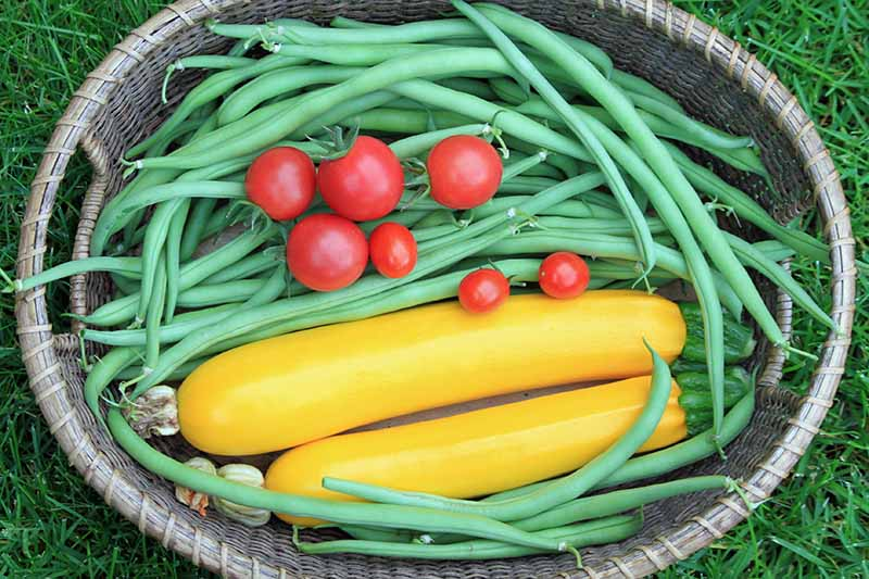 A close up top down picture of a wicker basket containing freshly harvested crops from the garden, green bush beans, yellow zucchini, and ripe red cherry tomatoes set on a grassy surface.