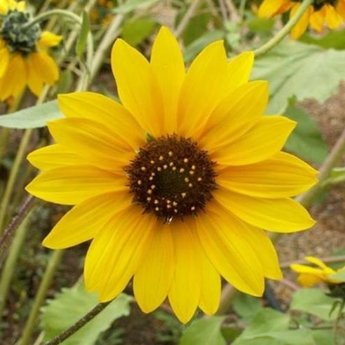 A close up of a bright yellow Helianthus annuus 'Wild' flower growing in the garden on a soft focus background.