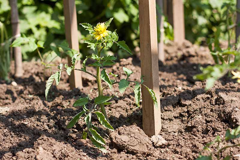 A close up of a wooden stake pressed into the soil to support a young tomato plant growing in the garden, pictured in bright sunshine.