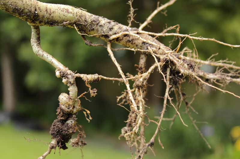 A close up horizontal image of a woody root with nodules consistent with root knot nematode infection pictured on a soft focus background.