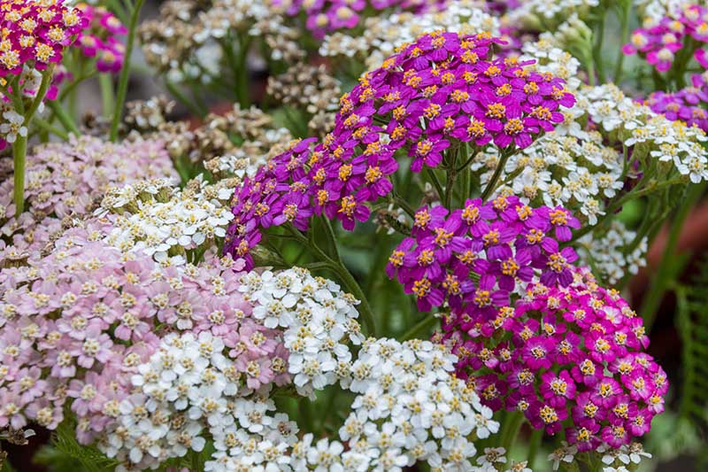 A close up of a variety of different colored Achillea flowers growing in the garden.