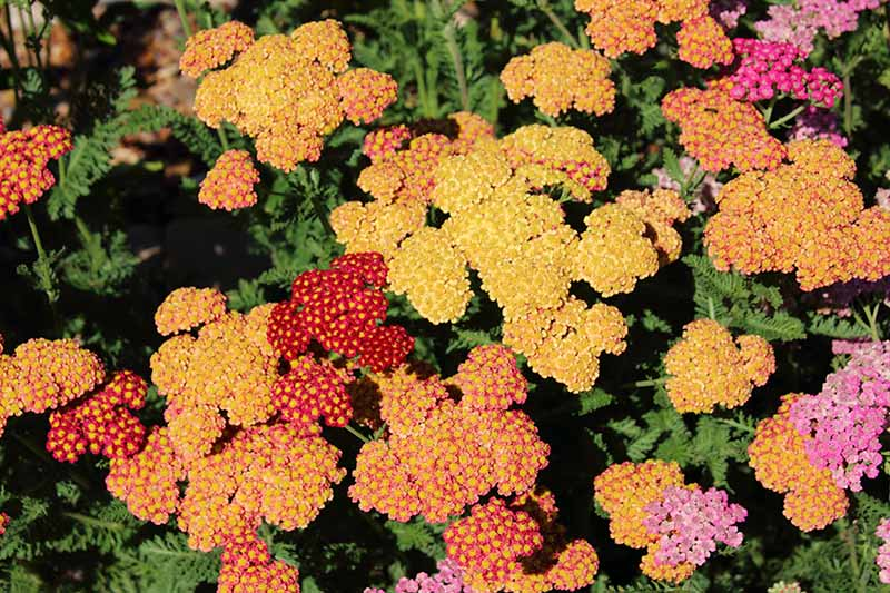 A close up top down picture of yarrow with various different colored flowers, growing in the garden pictured in bright sunshine.
