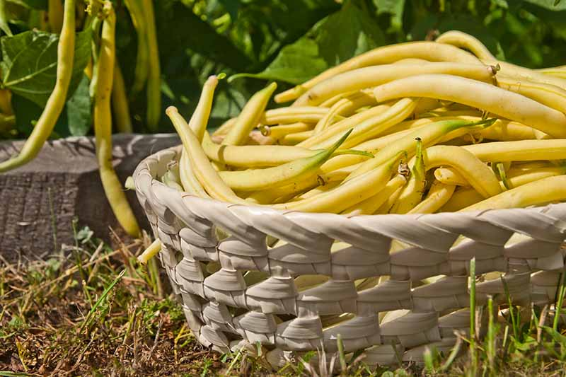 A close up of a wicker basket with yellow bush beans freshly picked from the plant, set on a grass lawn. In the background is a plant in soft focus, pictured in bright sunshine.