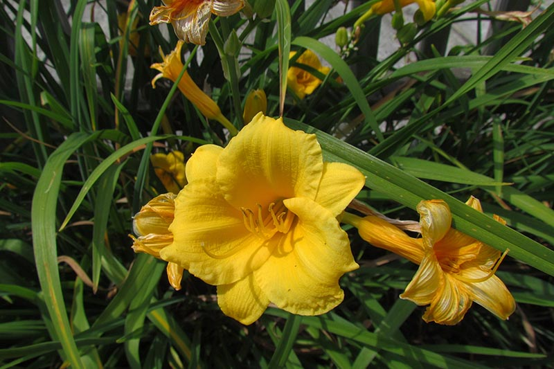 A close up of a yellow daylily flower growing in the garden, surrounded by foliage in light sunshine.