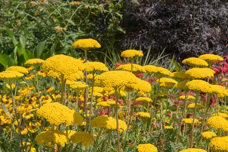 A close up of Achillea filipendulina growing in the garden with bright yellow flower clusters, pictured in bright sunshine with foliage in the background.