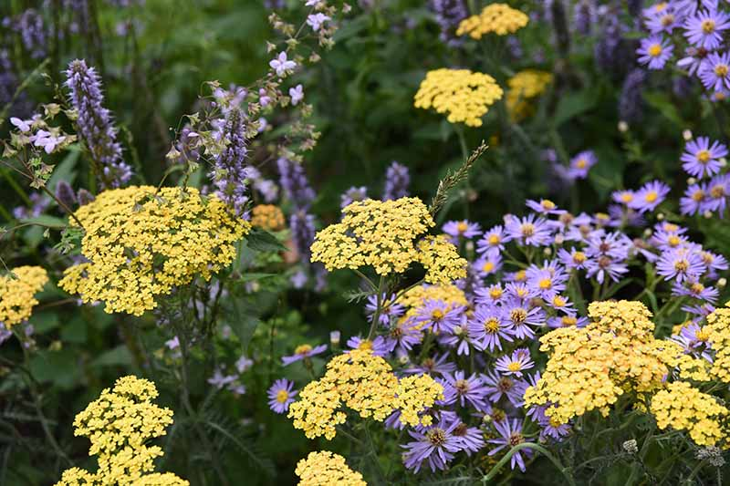 A close up of the yellow flowers of Achillea growing in the garden surrounded by foliage and small purple flowers on a soft focus background.