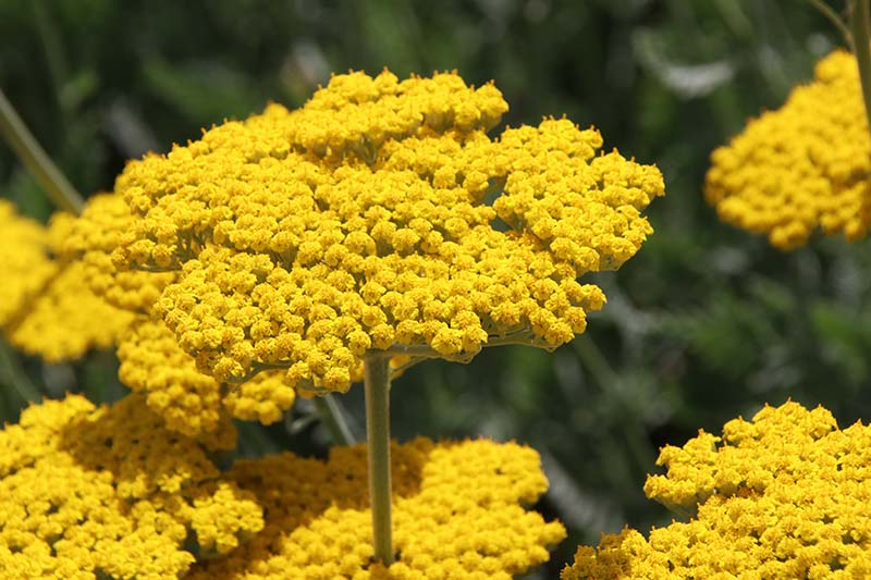 A close up of yellow yarrow flowers in full bloom in the summer garden, pictured in bright sunshine on a soft focus background.