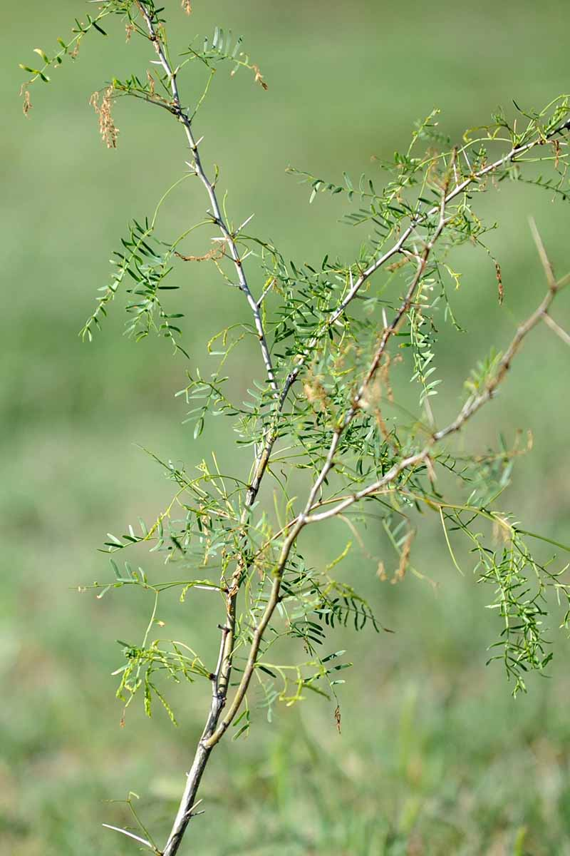 A vertical close up of a young seedling of a mesquite tree on a soft focus background.