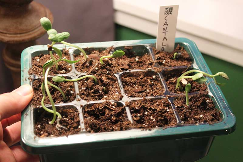 A close up of a hand from the left of the frame holding up a green plastic seed starting tray with small green seedlings just emerging from the soil.