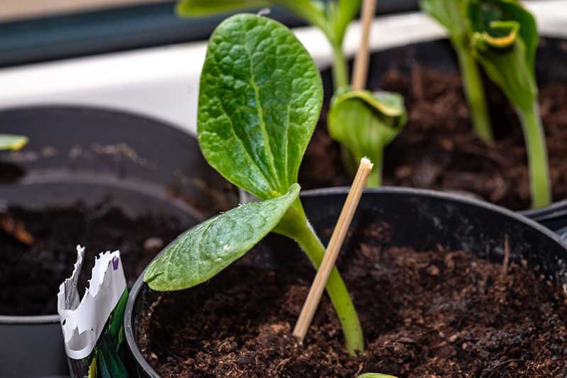 A close up of a Cucurbita pepo seedling growing in a small black plastic pot.