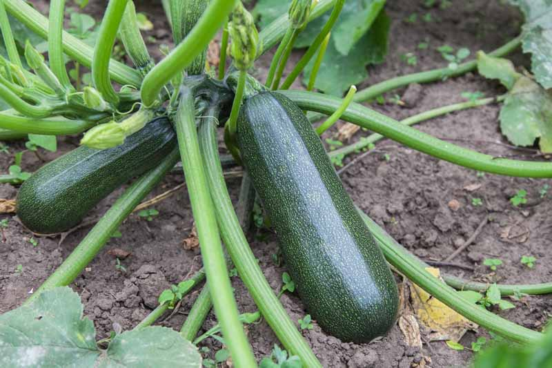 A close up of a mature, green summer squash growing in the garden with soil in the background.