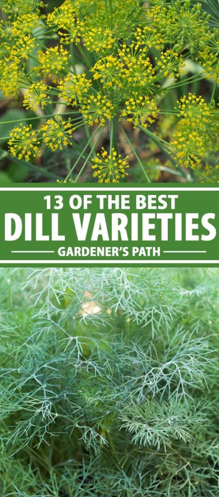 A collage of images showing different types of dill weed growing in a herb garden.