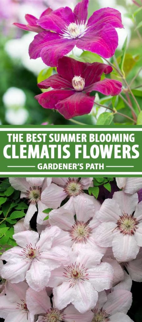 A collage of photos showing different types of clematis vines that flower in the summer.