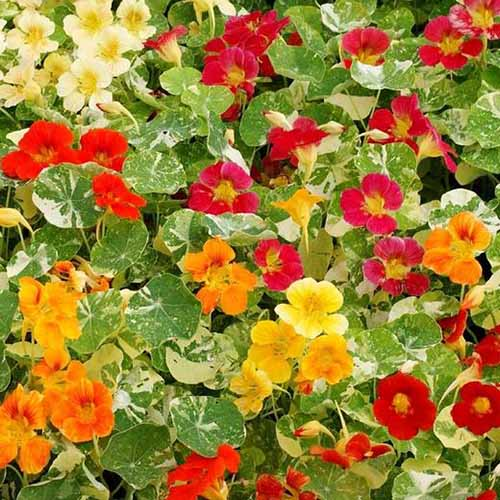 A close up of red, yellow, and orange nasturtiums, surrounded by variegated leaves.