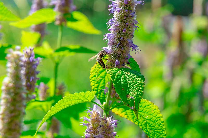 A close up of a bee feeding on the tall, upright flower stem of Agastache foeniculum, pictured in bright sunshine in the summer garden.