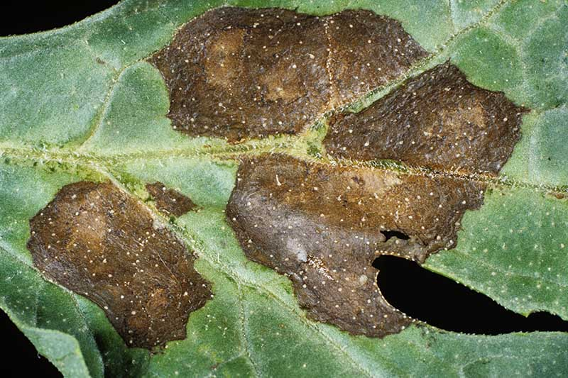 A close up of a watermelon leaf with the fungal infection anthracnose causing dark brown lesions along the leaf veins.