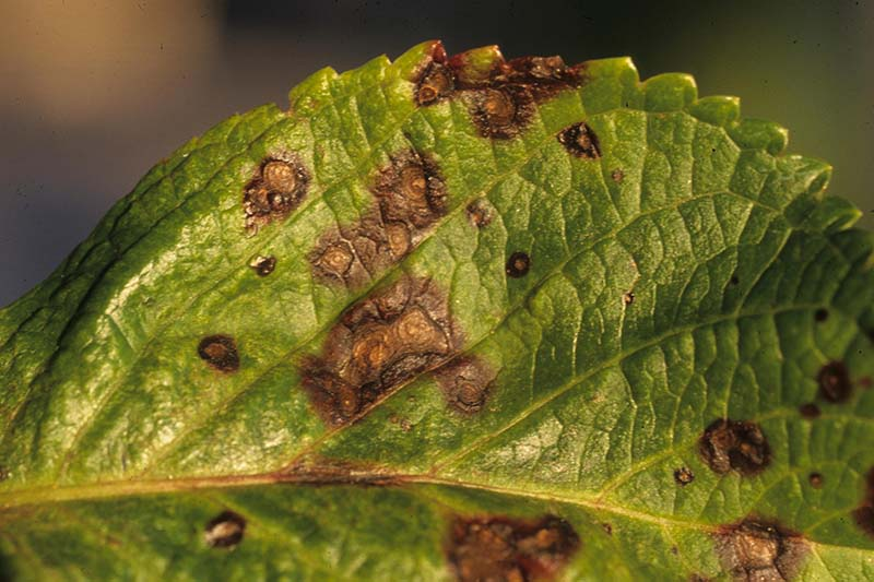 A close up of a leaf suffering from a fungal disease that causes dark brown lesions.