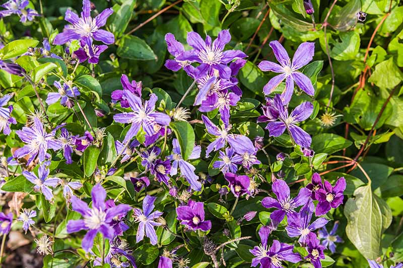 A cluster of star shaped, purple flowers of a non-vining, herbaceous clematis variety called 'Arabella,' pictured in the summer garden in light sunshine, with foliage in the background.