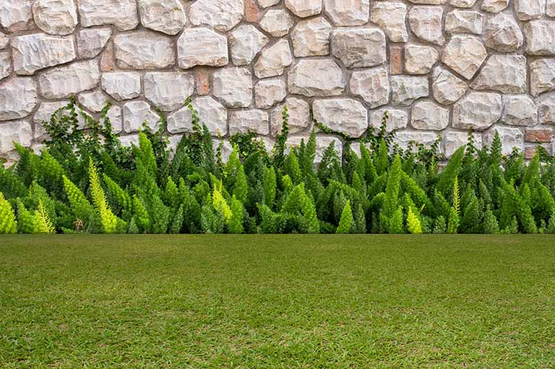 A swathe of asparagus fern growing in a border beside a stone wall, with lawn in the foreground.
