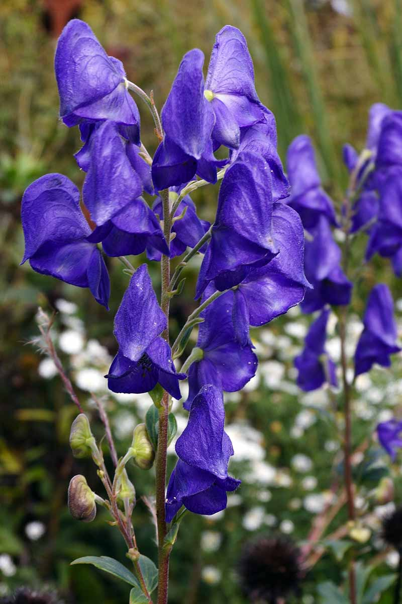 A close up vertical picture of Aconitum carmichaelii growing in the garden, with white flowers in soft focus in the background.