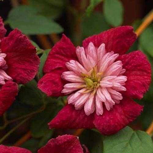 A close up of the dark red, double petalled flowers of 'Avant Garde,' a clematis variety that blooms in the summertime. In the background is foliage in soft focus.