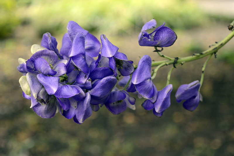 A close up of a flower stalk with light blue flowers of Aconitum carmichaelii growing in the garden, pictured on a soft focus background.