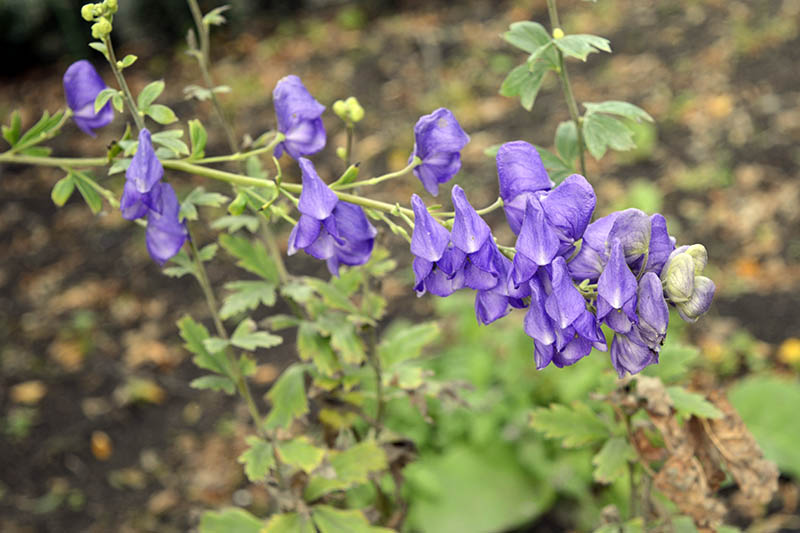 A close up of Aconitum carmichaelii stem with light lavender colored flowers, pictured growing in the fall garden on a soft focus background.
