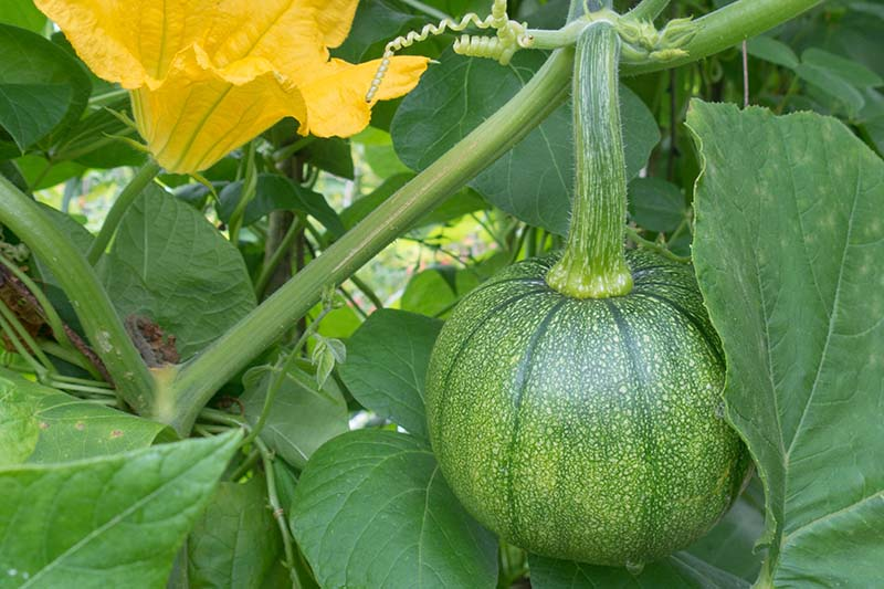 A close up of a small pumpkin just starting to develop, pictured amongst vines and foliage, with a large orange male flower in the background.