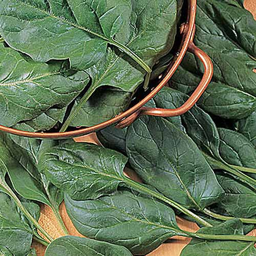 A close up top down picture of a metal colander with 'Baby's Leaf' spinach, set on a wooden surface.