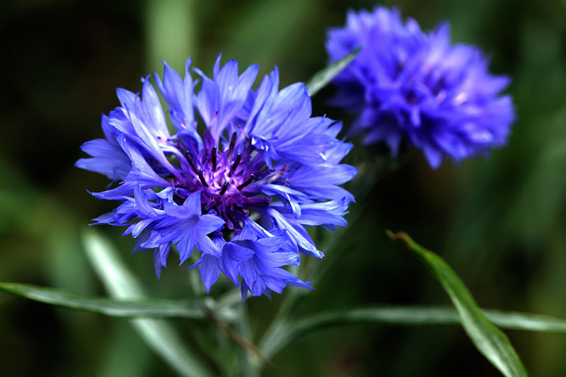 A close up of two blue bachelor's button flowers, pictured on a soft focus background.