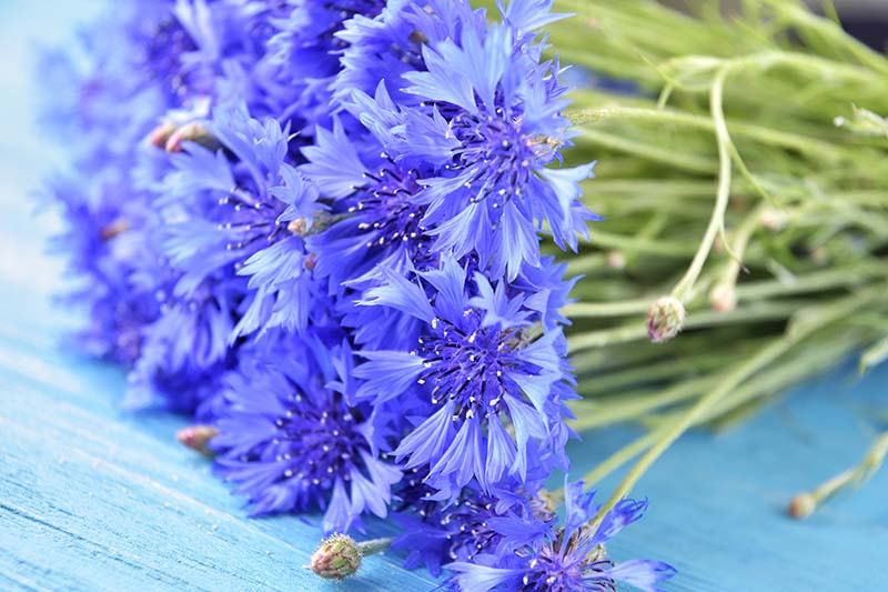 A close up of cut flower stems of bright blue bachelor's button blooms, set on a wooden surface.