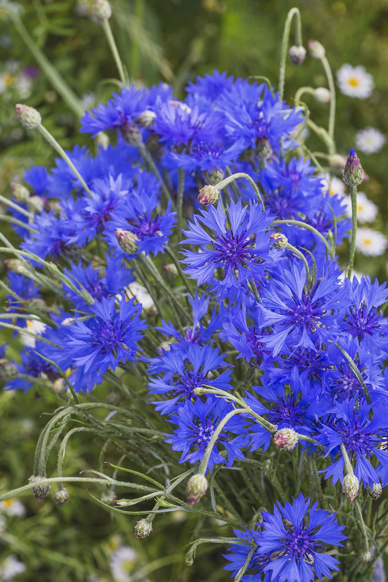 A close up, vertical picture of blue cornflowers growing in the summer garden, with foliage in soft focus in the background.