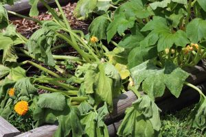 How to Identify and Control Common Zucchini Diseases