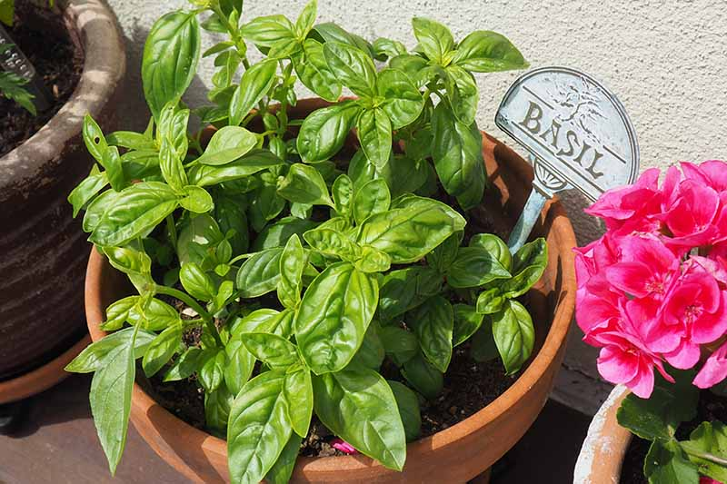 A close up of a terra cotta pot growing basil outdoors on the patio, pictured in bright sunshine.