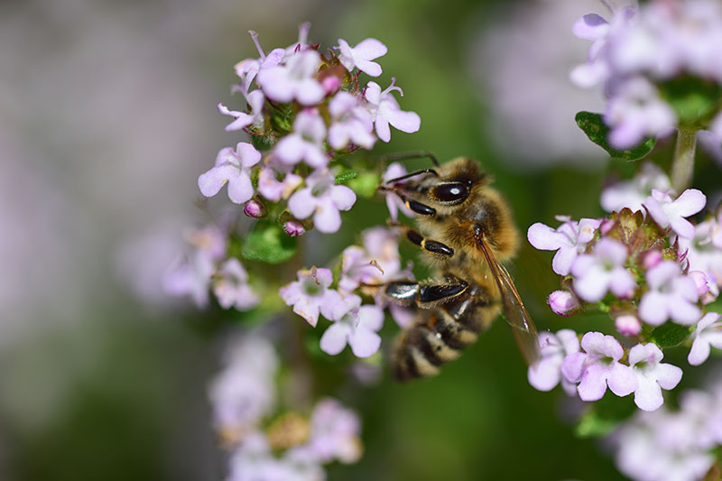 A close up of a bee landing on a Origanum majorana flower, pictured on a soft focus background.