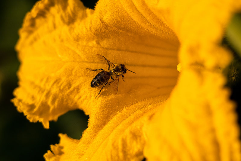 A close up of a bee inside a trumpet-shaped yellow flower.