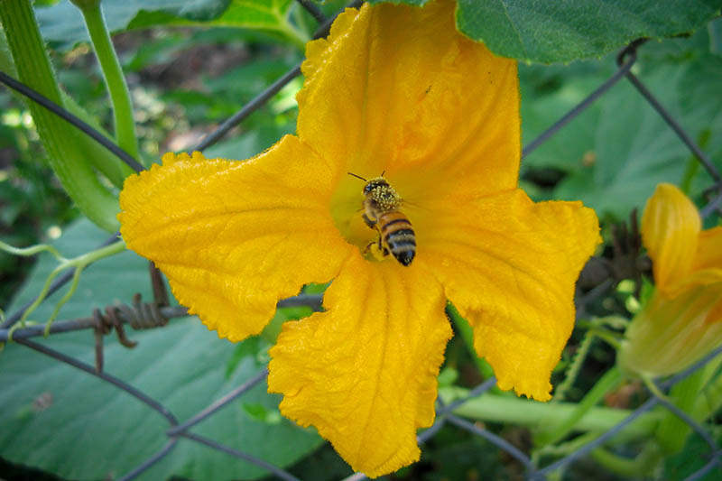 A close up of a bee pollinating a bright yellow flower, surrounded by foliage in the summer garden.