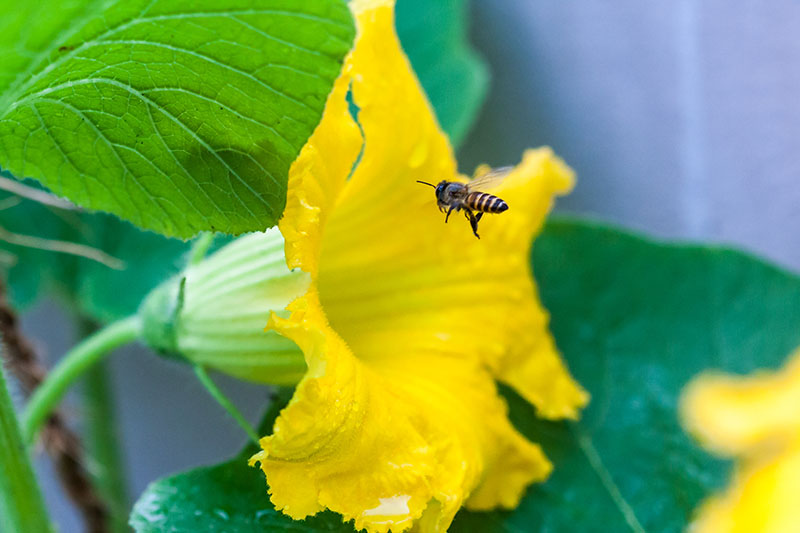 A close up of a bee entering a bright yellow, trumpet-shaped flower, with foliage in soft focus in the background.