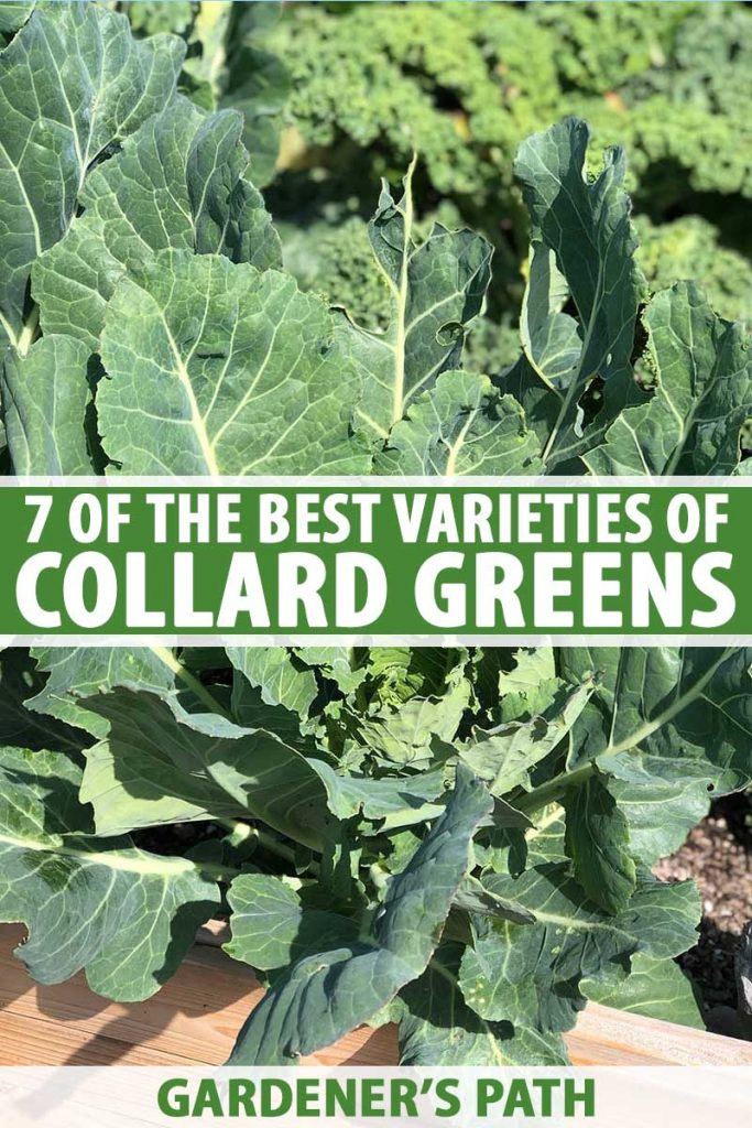 A close up vertical picture of a large Brassica oleracea var. acephala, collard greens, plant growing in a raised bed garden, with dark green leaves, pictured in bright sunshine, with kale in soft focus in the background. To the center and bottom of the frame is green and white text.