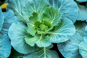 7 of the Best Collard Greens Varieties to Grow at Home