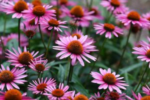 A close up of bright pink coneflowers growing in the garden, pictured on a soft focus background.