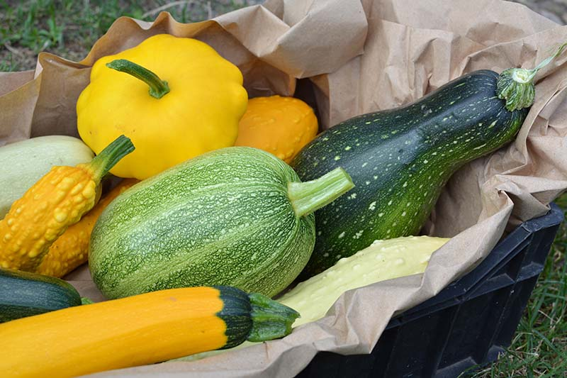 A close up of a black plastic crate, lined with brown paper containing a number of different summer squash varieties, in yellow and different shades of green.