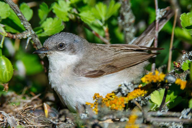 A close up of a small bird feeding on ripe gooseberries in the garden.