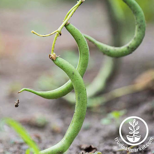 A close up of the 'Black Valentine' pole bean, which produces black beans ideal for drying. To the bottom right of the frame is a white circular logo with text.